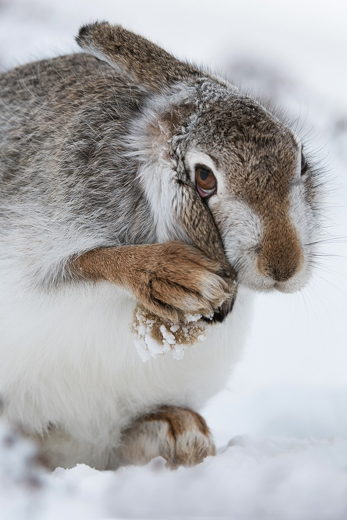PDI - Mountain hare by Aneurin Phillips (16 marks)