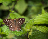 PDI - Speckled Wood Martin by Martin Spackman (10 marks)