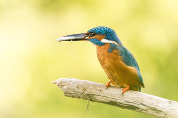 COLOUR - Kingfisher With Fish by Philip Blair (12 marks)