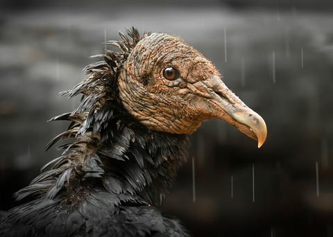 20 - NIPA - Black Vulture by Pamela Wilson ( 29 marks )