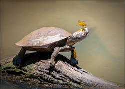 PRINT -  3rd Place - Yellow Spotted Side-necked Turtle by Brendan Hinds