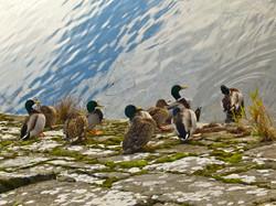 Ducks Waiting To Take A Dip_BNDCC_2013_Bill Henning.jpg
