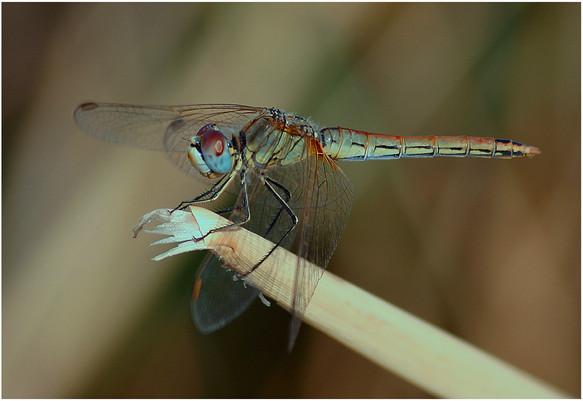 P-NIPA-EX17-PDI-076-Vagrant Darter Dragonfly-John McDonald-NIE_.jpg