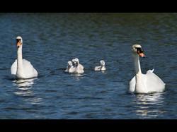 104 Swan family.jpg
