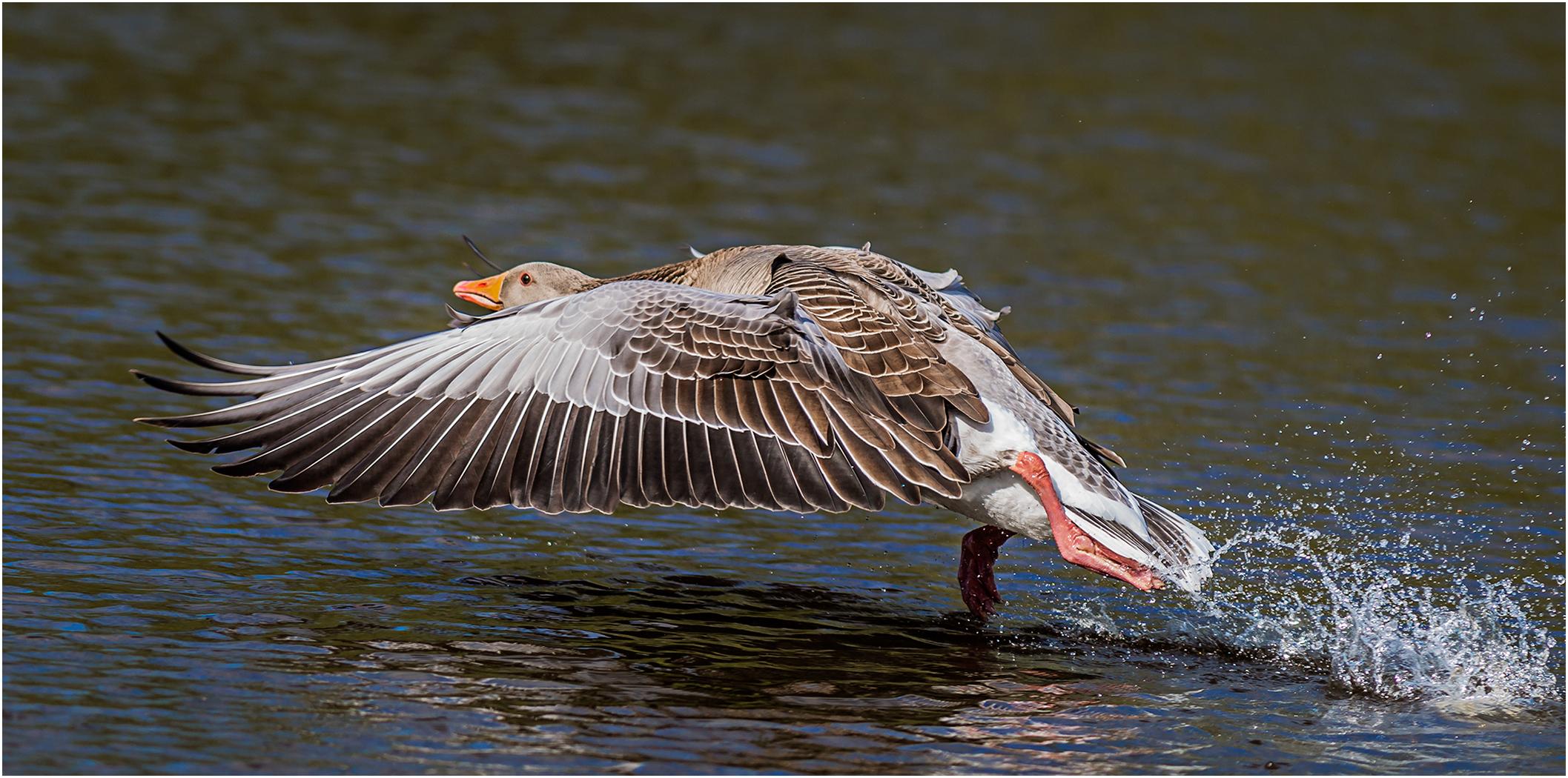 4_Highly Commended_Graylag Goose Take Off_BrendanHinds_CBPPU.jpg