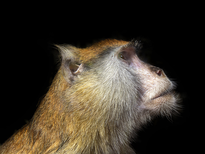 PDI - Macaque Monkey by Alan Field (14 marks)