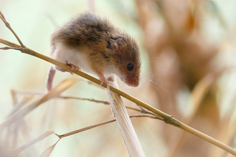 PDI - Eurasion Harvest Mouse by Stephen Weatherall (12 marks)