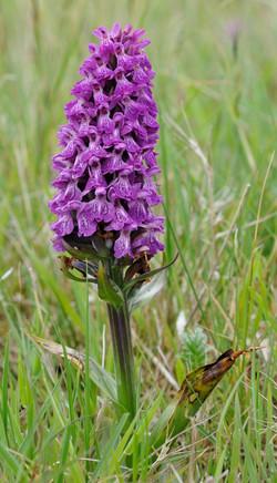 044 Orchid_[dactylorhiza_incarnata_].jpg