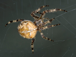 098 cross spider web.jpg