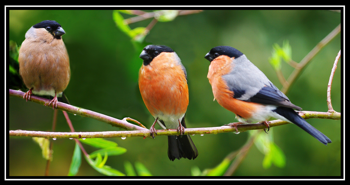 155 Bullfinch_Family.jpg.jpg