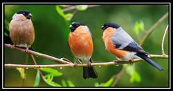 155 Bullfinch_Family.jpg.jpg