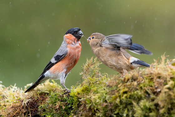 PRINT -  Commended - Bullfinch feeding Fledging by Hugh Wilkinson