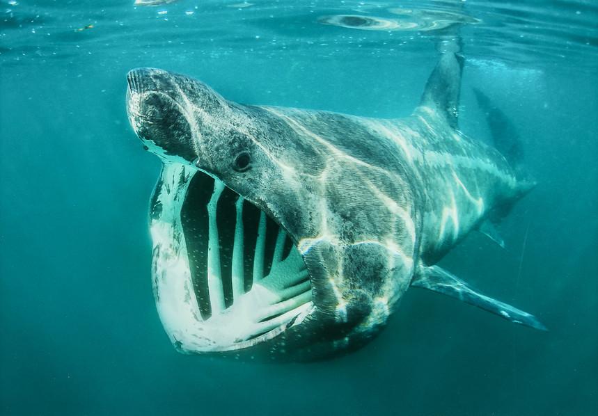 Com_Basking Shark-Alan Cranston-Carrick CC.jpg