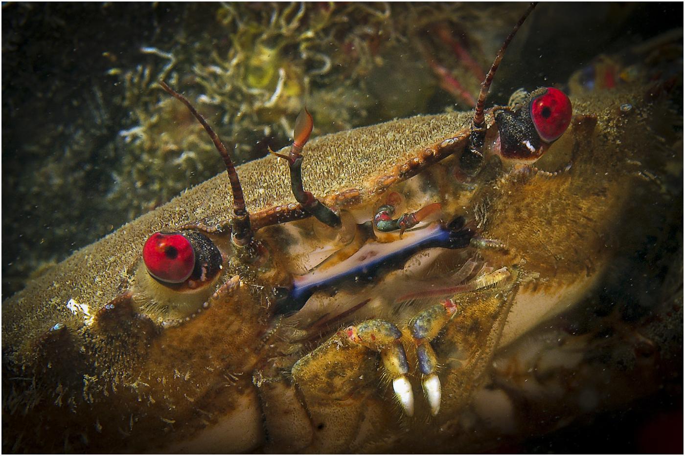 108 Necora puber - Velvet swimming crab.jpg