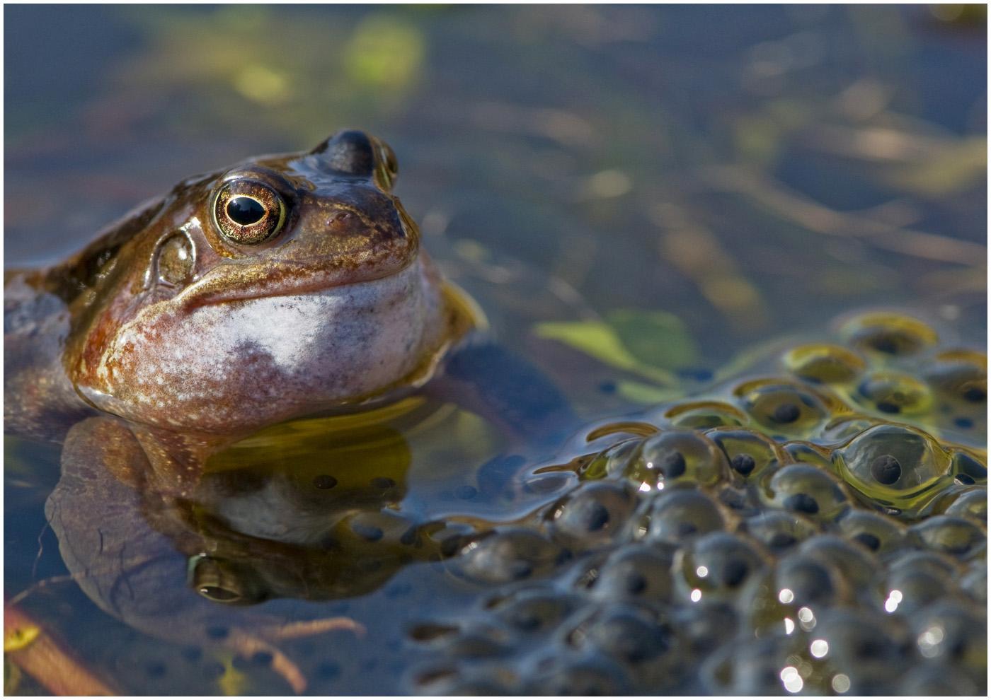 109 Rana temporaria - Common frog.jpg