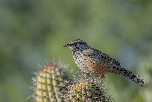 32 - IPF - Cactus Wren by Ita Martin ( 29 marks )