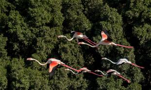 PDI - Greater Flamingos by BRIAN LARKIN