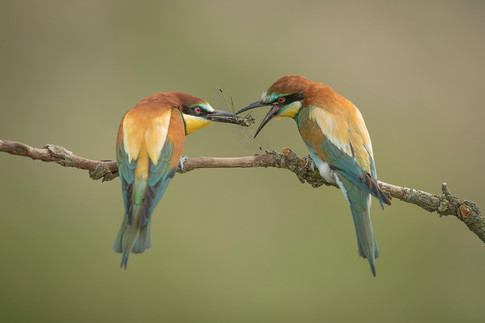 15 - NIPA - Bee Eaters by Pamela Wilson ( 37 marks ) - Commended
