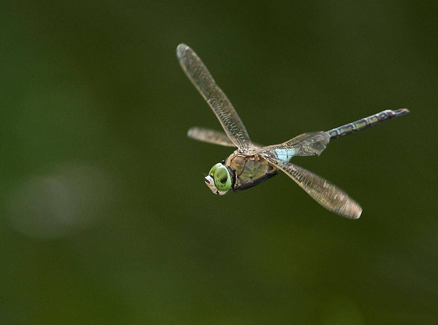 Anax imperator in flight