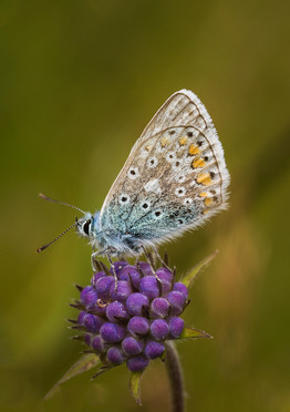 43 - IPF - Common Blue by Elspeth Hall ( 31 marks )