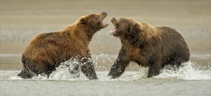 COLOUR - Brown Bear Fight Alaska by Gordon Rae (18 marks)