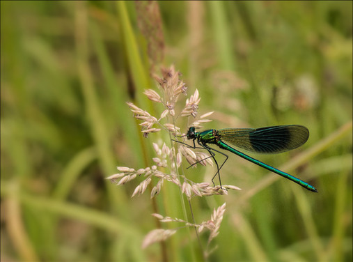 12 - IPF - Banded Demoiselle by Catherine Bushe ( 30 marks )
