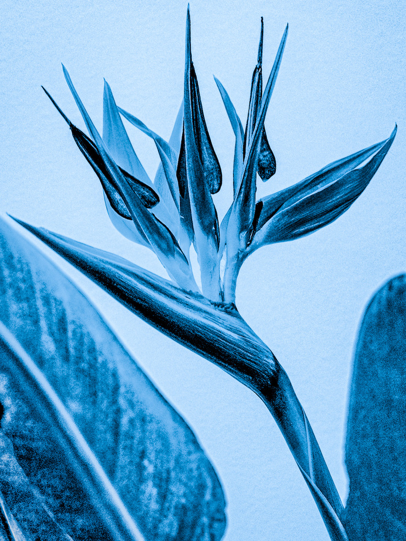 PDI - Stralitzia in Blue by A.P. Cameron - Mitchell (8 marks)