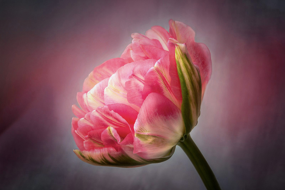 PDI - Rose Tulip by Ann Doherty (10 marks)