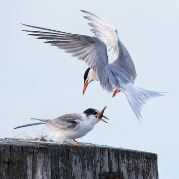 PDI -  Highly Commended - Tern feeding Juvenile by Hugh Wilkinson