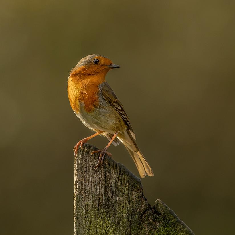 PDI - Story of Robin Redbreast (Hedgerow Tales) - Pat Wynnejones by Pamela Wilson (11 marks)