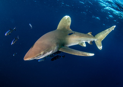 192 - NIPA - Oceanic Whitetip Shark by Alan Cranston ( 38 marks ) - Joint 3rd Place