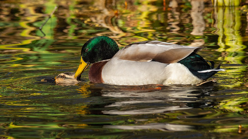 PDI - Mating Mallards by Ted McKee