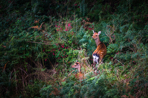 PRINT - Sikka Deer by Alan Cranston