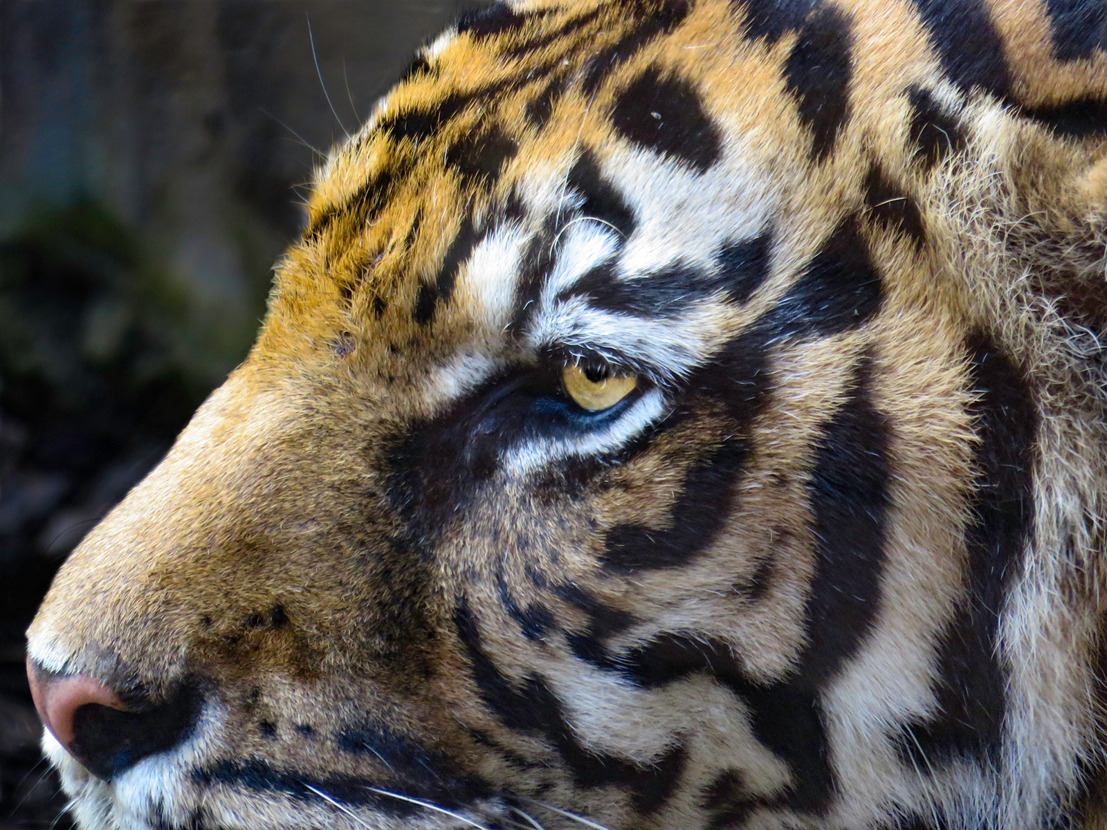 PDI - Eye of the Tiger - Survivor by Jennifer James (12 marks)