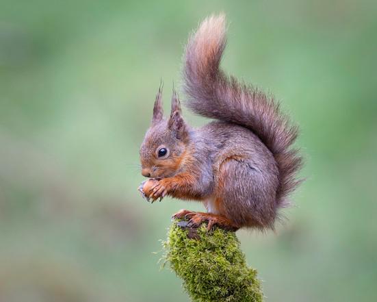 PDI - Red Squirrel With Hazelnut by Valerie McKee