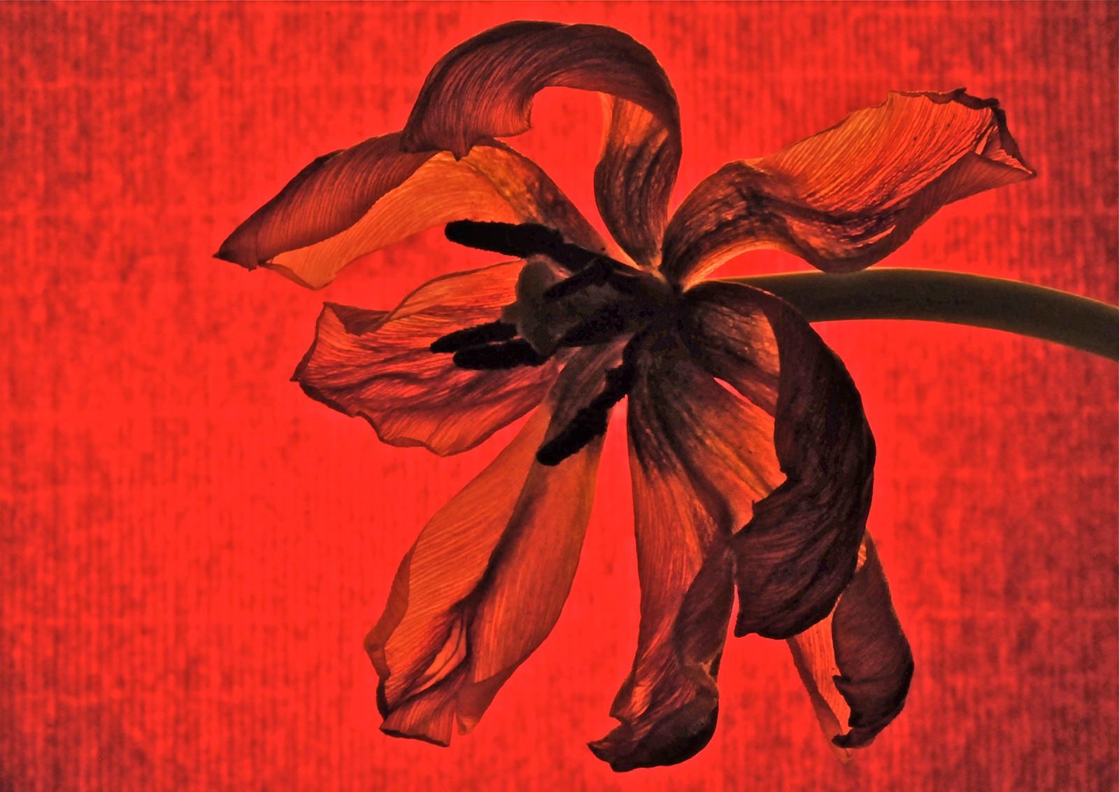 COLOUR - RedDeadHead by Geoff Sloan (10 marks)
