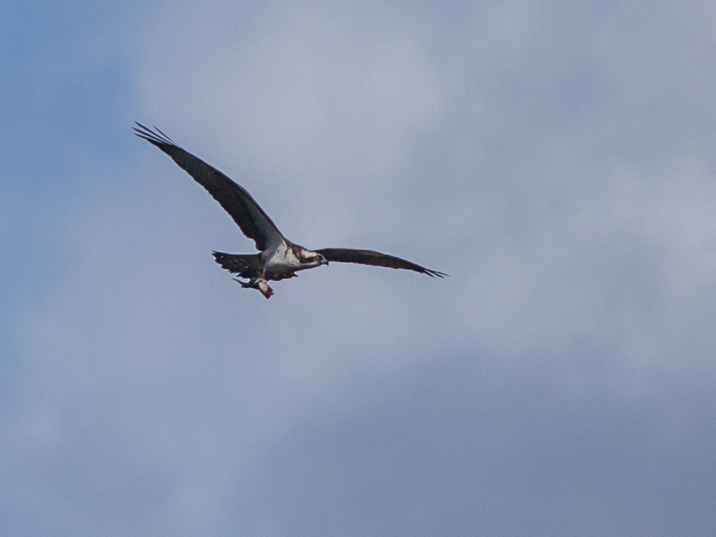 052 Osprey with Lunch.jpg