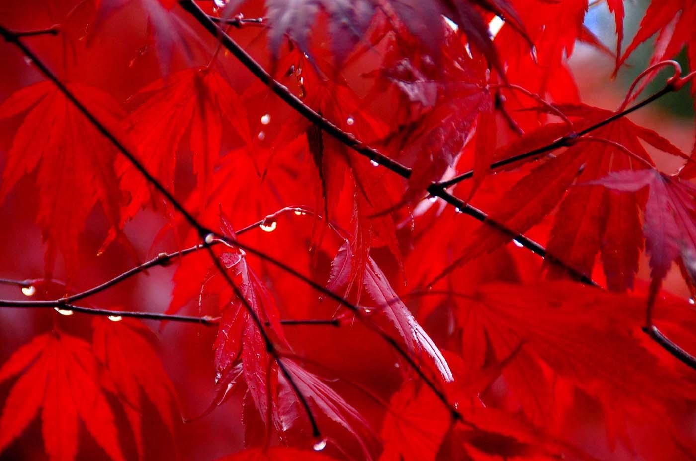 140 DOPK_Red Drops.jpg