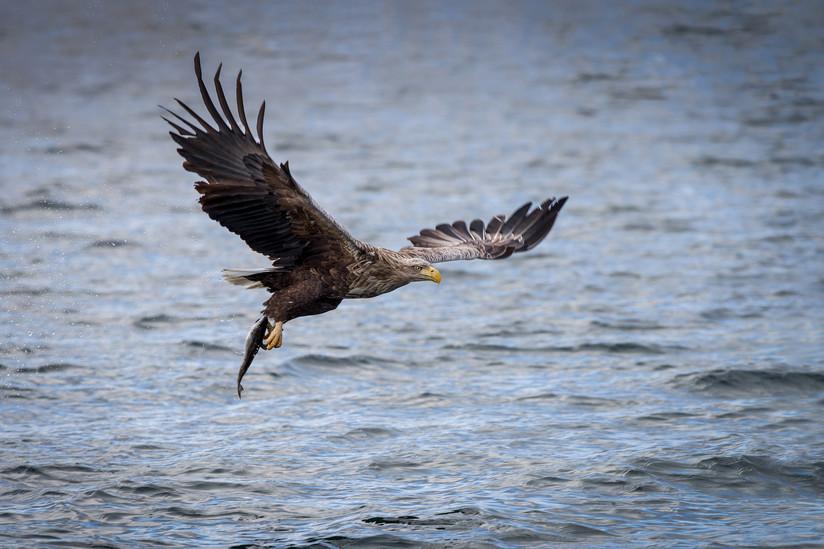 COLOUR - A Saga of Sea Eagles - John A Love by Pamela Wilson (10 marks)