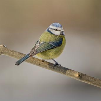 23 - IPF - Boora Blue Tit by Sean Ganley ( 21 marks )