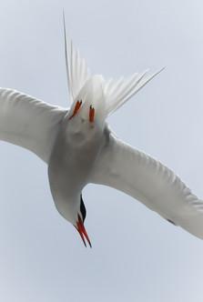 48 - NIPA - common tern in flight by Albert Boyle ( 26 marks )