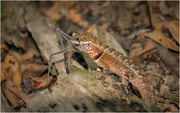 PRINT -  Highly Commended - Turnip Tailed Gecko by Brendan Hinds
