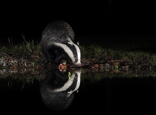 11 - NIPA - Badger Drink by Vivienne Beck ( 35 marks )