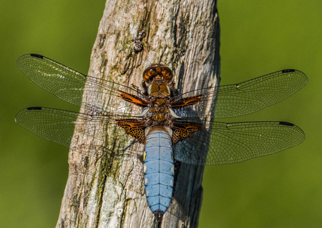 26 - IPF - Broad bodied Chaser by John Bainbridge ( 26 marks )