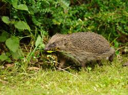 070 Hedgehog.JPG