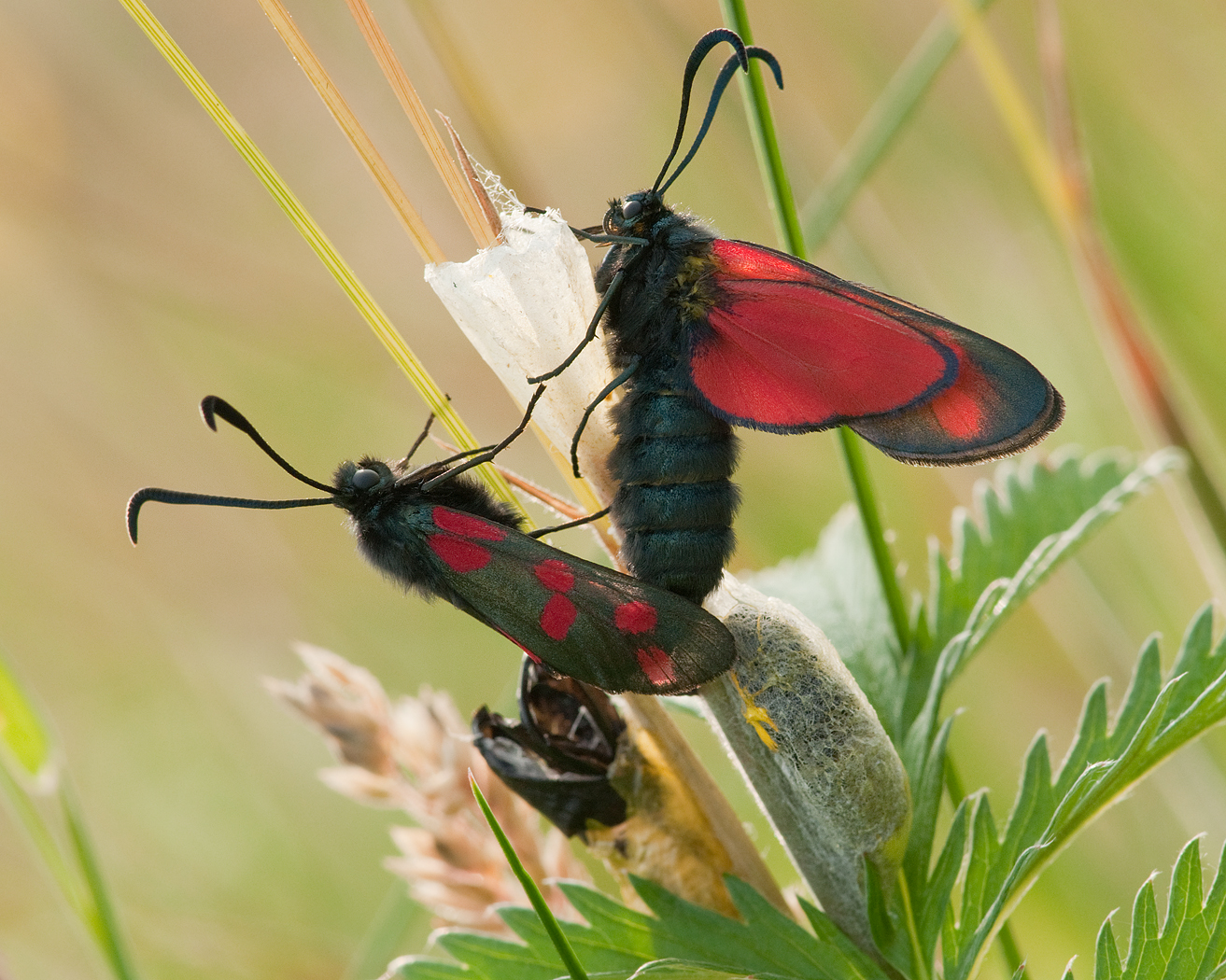 Life Cycle of the Burnet Moth