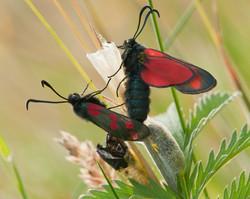 Life Cycle of the Burnet Moth