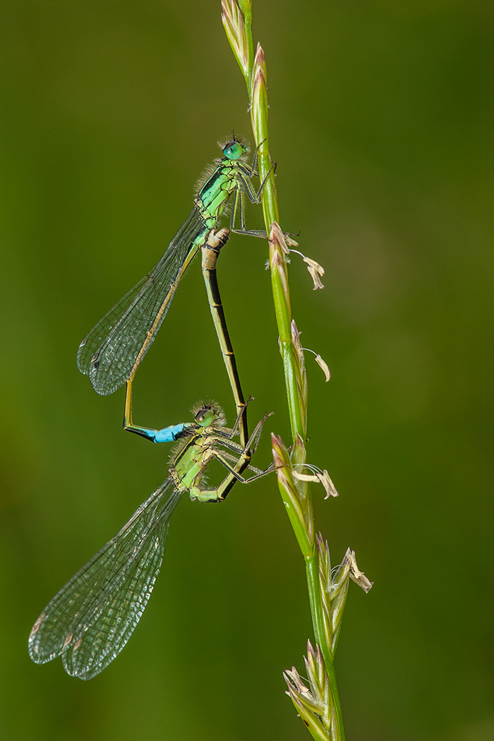 6_Commended_Mating_Blue-tailed_Damselflies-Ted_McKee-Ards.jpg