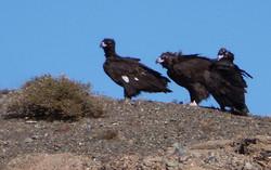 147 Dopk_Gobi vultures.jpg