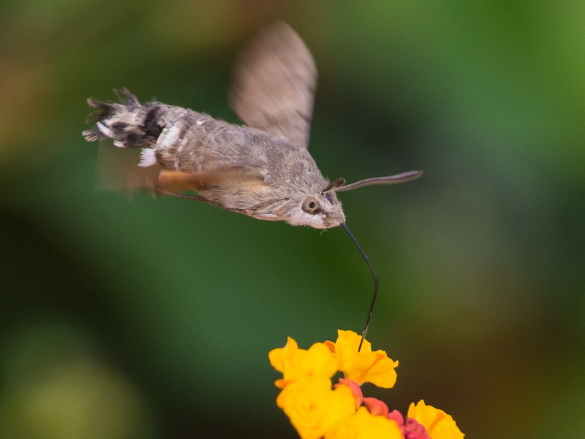 PDI - Hummingbird Hawkmoth 2 by Danny McCaughan (10 marks)